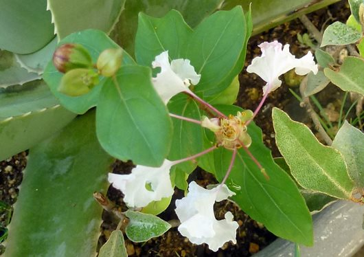 1年もの サルスベリの花.JPG