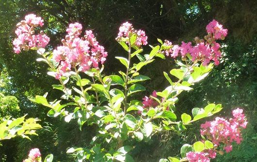 サルスベリの花色.JPG